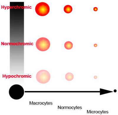 Blood cell indices > MCV and MCHC