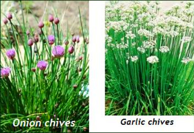 Chinese or Garlic chives ( Allium tuberosum ) which have a garlic-like ...