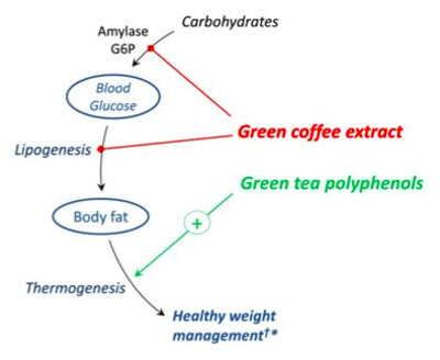 07/12/13: Green Coffee Extract: Healthy weight management through glycemic moderation*