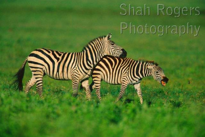 Common zebra male and female exhibiting courtship mating behaviour ...