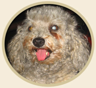 Natural Treatment and Prevention of Canine Cataracts | All Natural Pet Care Blog