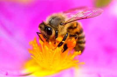 The Buzz: Bees Get a Boost From Caffeine - Seeker