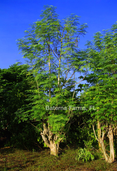 Baterna Farms Grows Moringa Trees That Are Good for ...