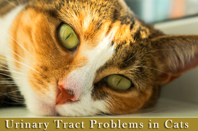 Most Common Urinary Tract Problems Found in Cats