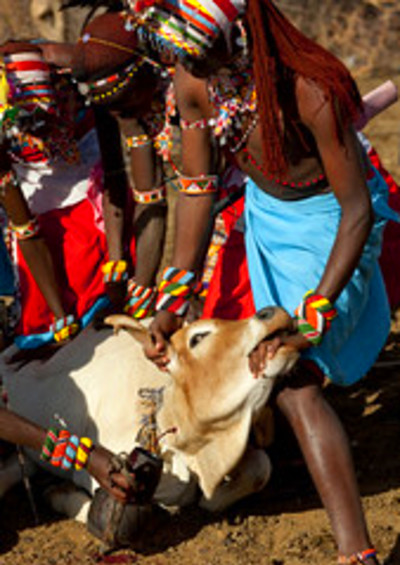 Samburu men bleeding a cow for the blood meal - Kenya | Flickr