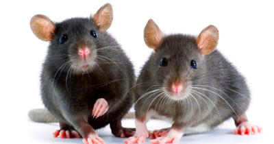 Mouse study may provide clue for new Alzheimer's treatment ...