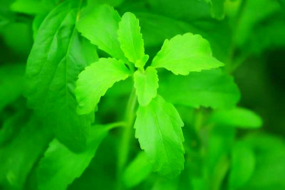 Stevia Diabetes Mayo Clinic | DiabetesTalk.Net
