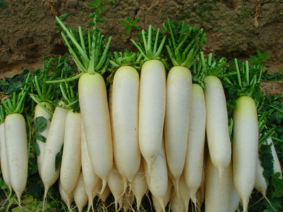 Radish Long White - GreenMyLife - Anyone can Garden