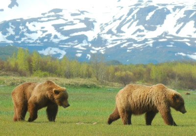 Grizzly Bears Mating | Grizzly Bear Blog