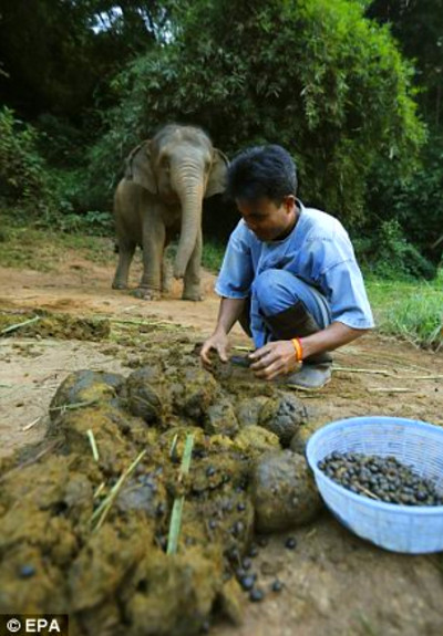 Black Ivory coffee made in Thailand using beans digested ...