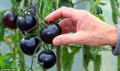 Black tomatoes that could stave off cancer arrive in UK ...