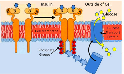 A new paradigm of insulin resistance - Diet Doctor