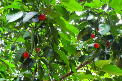 Bitter cola nuts come from Garcinia kola trees, which grow ...