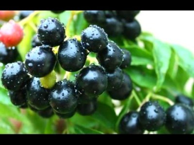 Home made FREE Berry Fruit Harvester / picker blueberry ...