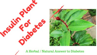 Insulin Plant A Diabetes Home Natural Herbal Remedy ...