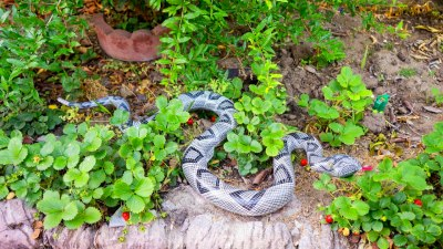 Use a Snake to keep birds away from your vegetables - YouTube