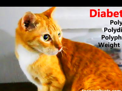 Remission of diabetes in cats and dogs | FunnyCat.TV