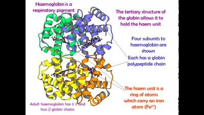 Haemoglobin and oxygen carriage for AS Biology - YouTube