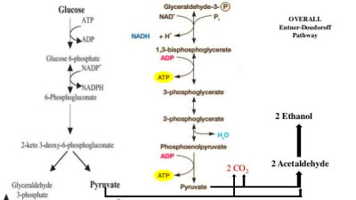 EDP pathway and comparision with PP pathway, EMpathway, Glycolysis
