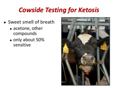 Diagnosing and Monitoring Ketosis in Dairy Herds