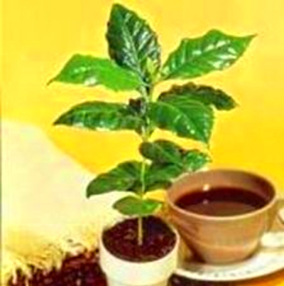 Amazon.com : Kona Coffee Bean 10 Tree Seeds -Coffea ...