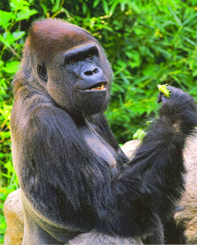 Why You Should Eat Like a Wild Gorilla | HuffPost Life
