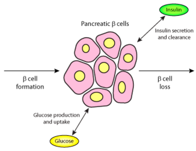 A Model of Beta-Cell Mass, Insulin, and Glucose Kinetics ...