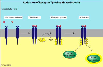 Signaling transduction tutorial | Leaders in ...