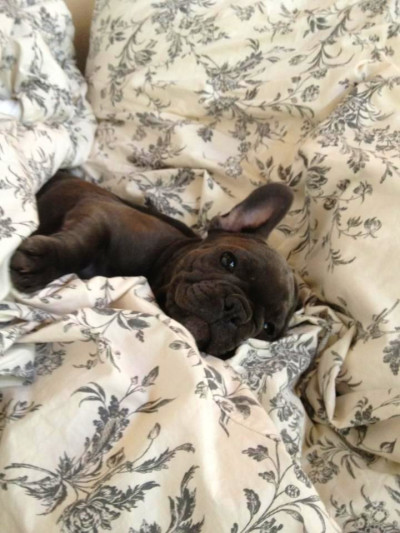 25+ best ideas about Black French Bulldogs on Pinterest ...