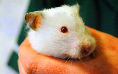 Pet subjects: what sweets can hamsters eat? - Telegraph