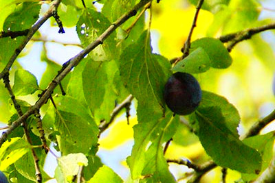 Fruit Trees that Thrive in Planting Zones 3 & 4 and Bear Fruit