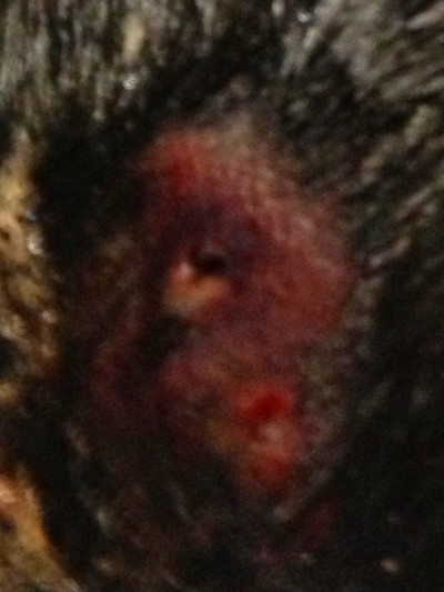 This Doberman had an abscess on its left hind end that had apparently ...