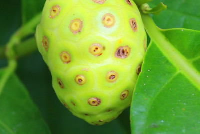 Here Is How Noni Fruit Can Improve Your Health