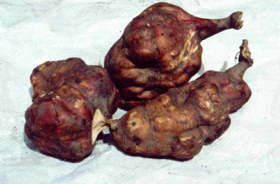 File:Yacón, remedio para la diabetes.jpg - Wikimedia Commons
