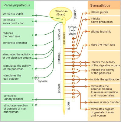 Dysautonomia - Wikipedia