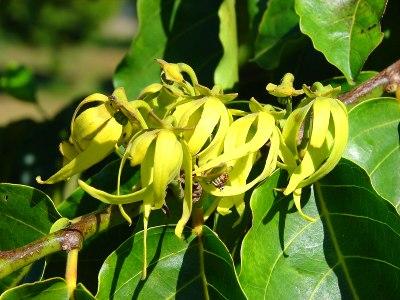 Ylang-ylang - Wikipedia, den frie encyklopædi