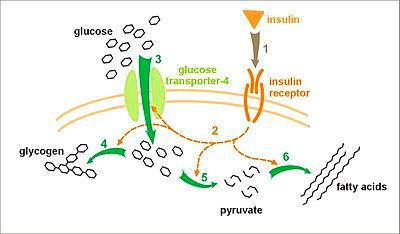 ... ,Glycogen and Diabetes - Wikibooks, open books for an open world