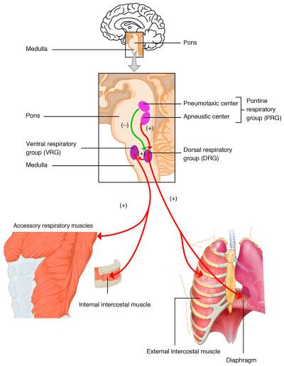 Respiratory center - Wikipedia
