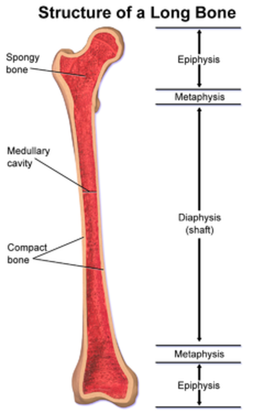 Structure of a long bone , with epiphysis labeled at top.