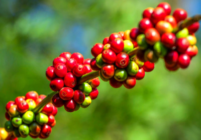 More than Weight Loss: Green Coffee Bean Extract | Whole ...