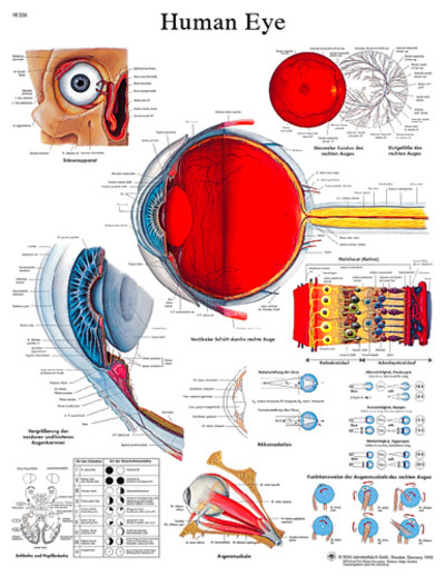 Human Eye Chart #VR1226 for sale | Anatomy Now