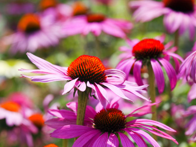Is Echinacea a Dangerous Cold Remedy? - DrWeil.com