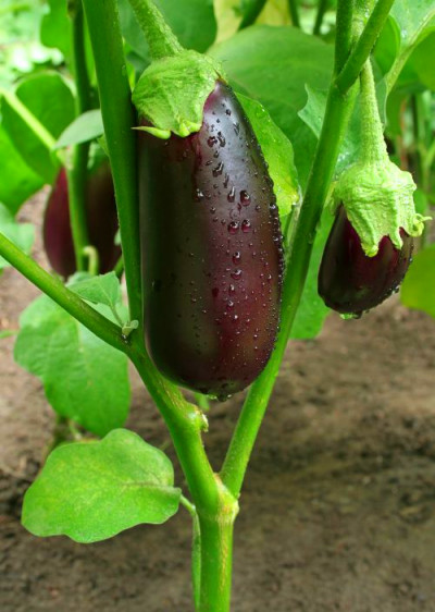 How to grow eggplants - Healthy Food Guide