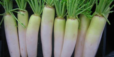 Daikon / Radish Benefits & Information