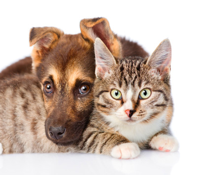 Diabetes Mellitus in Cats and Dogs | MedVet