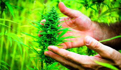 The medicinal healing power of cannabis | Natural Health 365