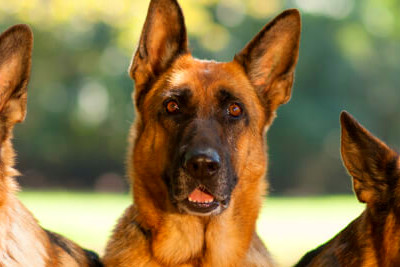 9 Reasons You Should Cuddle Your German Shepherd More ...