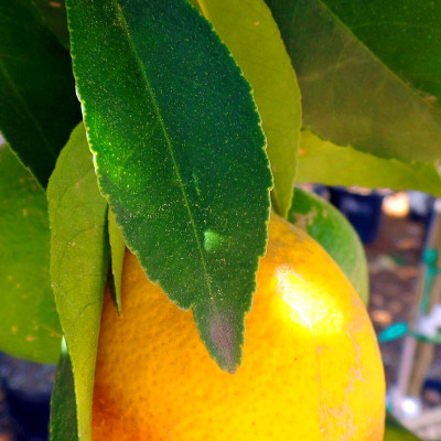 Lemon Tree - Warren's Southern Gardens, Kingwood, TX