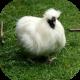 White_chicken