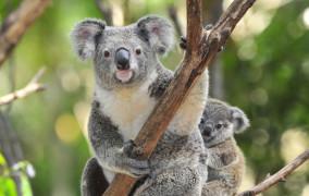 Original koala thumbnail